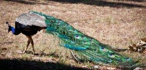 """alt=""""Male peacock on Lokrum Island"""""""