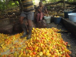 Cashew apples being squashed in Chorao, Goa. (Courtesy of Wikipedia Commons)