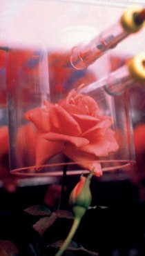 Rose grown on Space Shuttle Discovery to determine whether the scent would be as sweet as a rose grown on Earth. Image credit: NASA.