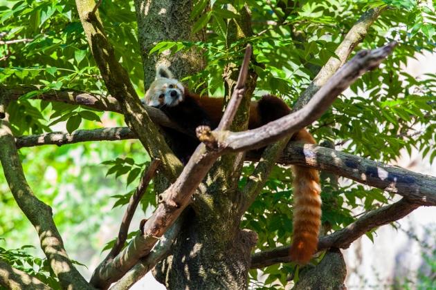 Rusty the Red Panda at the Woodley Park Zoo (Photo credit: Jonathan Irish)