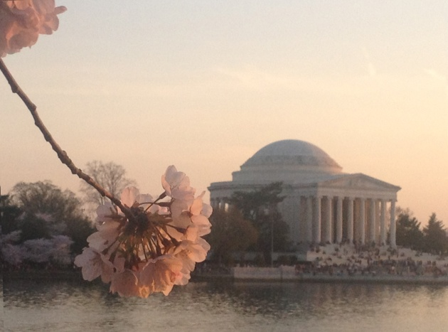 Cherry blossoms at sunset at the Jefferson Memorial