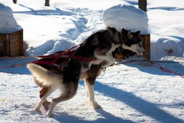 Dogsledding Lapland Sweden