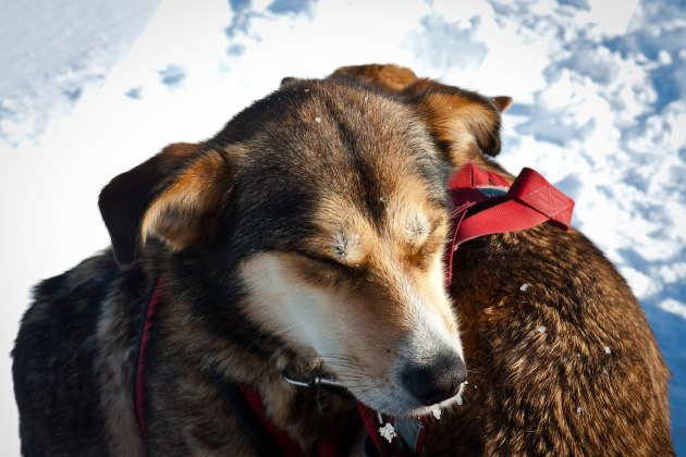 Sled dogs huddle for warmth