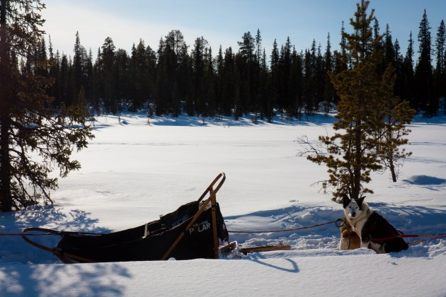 Sled dog in Lapland wilderness