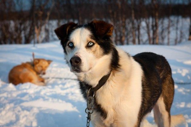 Balto the sled dog