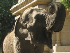 Elephant (with no tusks!) at the Buenos Aires Zoo in Palermo