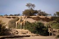 Desert-adapted giraffe