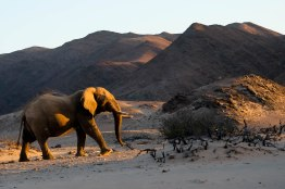 Desert-adapted elephant on an afternoon game drive in Namibia