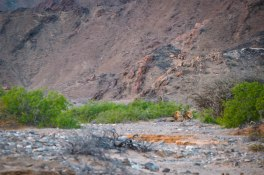 Rare and hard to see (in this picture and in the wild) desert-adapted male lions
