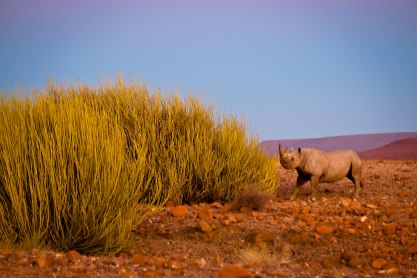 Rare desert rhino eating a thicket in Namibia