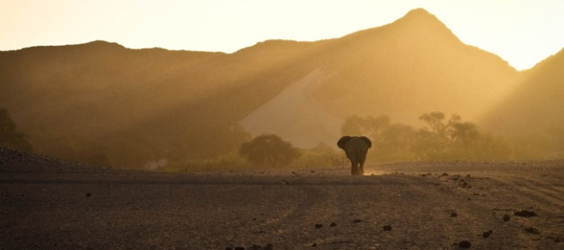 Desert elephant on the horizon at sunset in Namibia