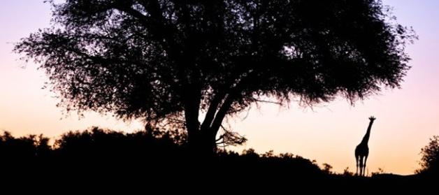 Giraffe against sunset in Namibia