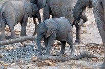 A baby desert-adapted elephant