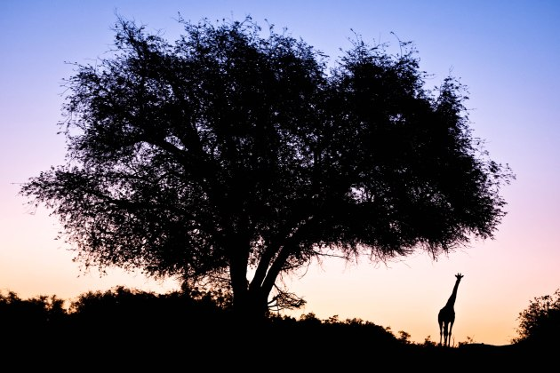 Giraffe under a tree at sunset in the Namib Desert, Namibia