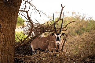 An Oryx in the brush -- the national animal of Namibia