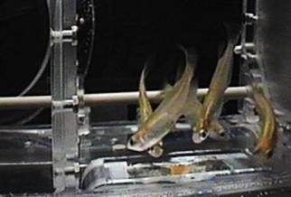 Medaka rice fish in their orbital aqua-lab on space station, c. 2012 (courtesy JAXA)