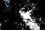 Capuchin monkey climbing through the trees