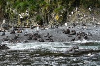 Elsehul is home to one of the largest fur seal colonies in the world and also home to nearly all the breeding birds in South Georgia.