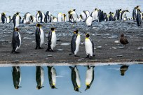 Penguins reflected at Saint Andrews Bay in South Georgia