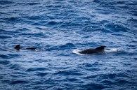 Minke whales!!
