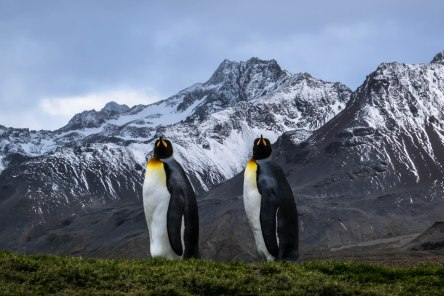 Penguins at Saint Andrews Bay, South Georgia
