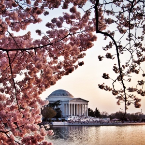 Jefferson Memorial with cherry blossoms in the foreground at the DC Tidal Basin
