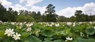 Lotus flowers in full bloom at Kenilworth Aquatic Gardens in northeast DC National Park Service