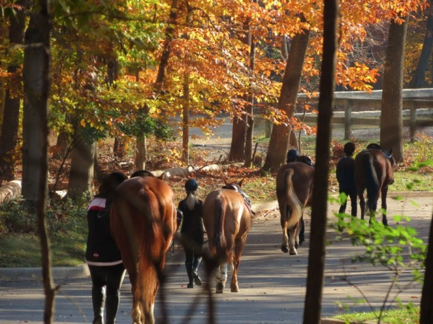 Horses on their morning walk in preparation for a day of riding near the Horse Center area in Rock Creek. (Credit: Rock Creek Park)