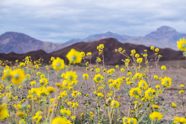 """The 2016 Death Valley """"superbloom,"""" captured in early March. Photo credit: Stefanie Payne"""